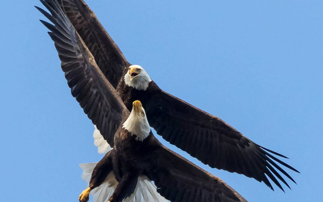 Love is in the air. Poetry in motion.  Adult Bald Eagles over Poughkeepsie, NY….