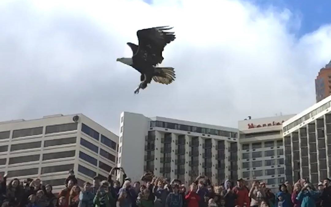 Hundreds Of People Watch Bald Eagle Fly Back To The Wild