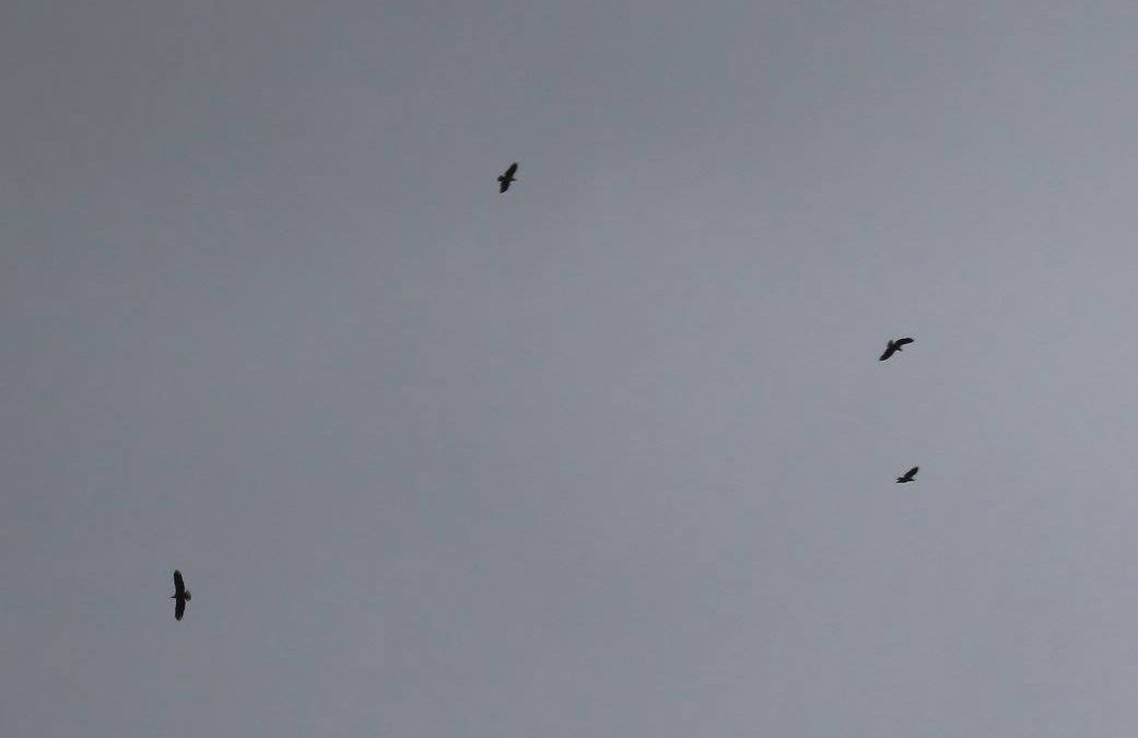 4 young eagles high over Dale Hollow, playing in the gusty winds as the cold fro…