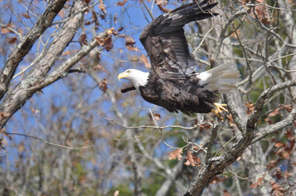 Probably not one of the Wolf river eagles, but I spotted this one Thanksgiving w…