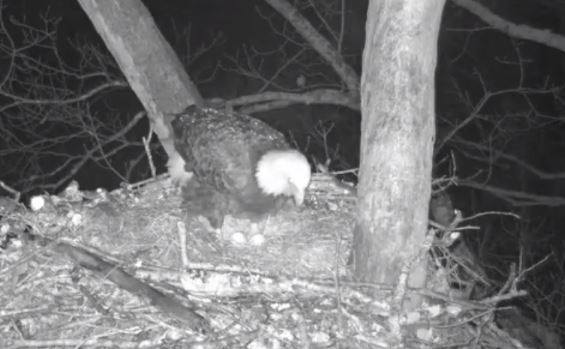 River shows her two eggs. 1st egg arrived on 1/23, 2nd egg on 1/26. We should kn…