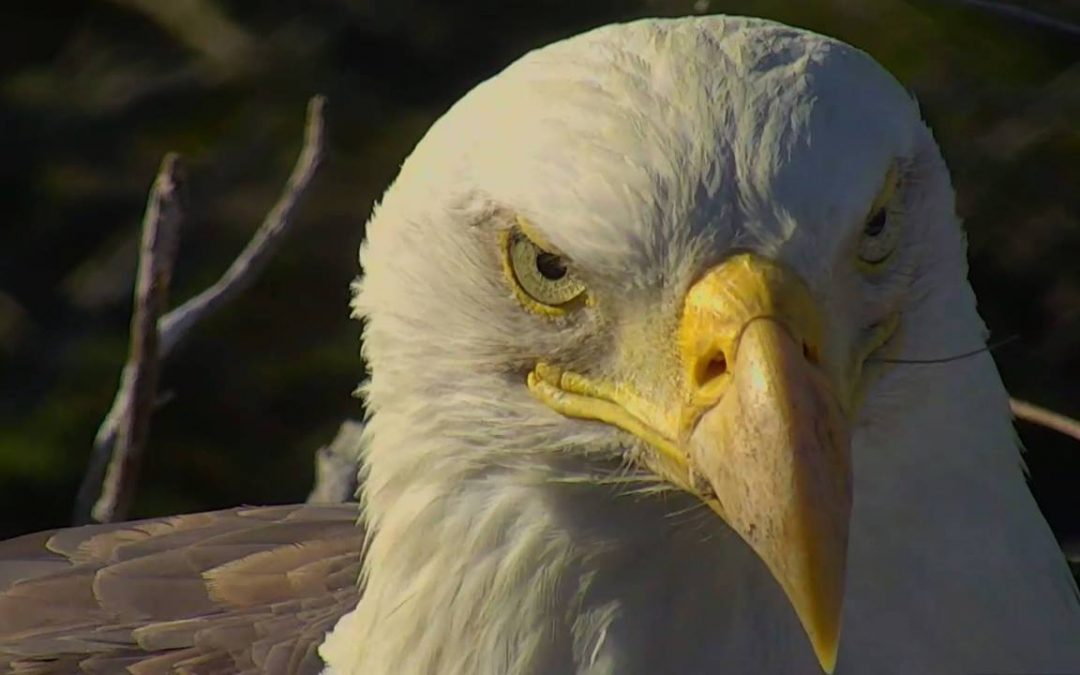 Five Facts About Bald Eagles