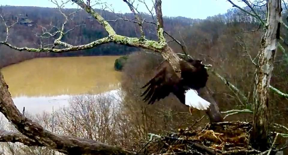 Good morning. Stretch and morning flight. Dale Hollow Eagle cam screen shot.