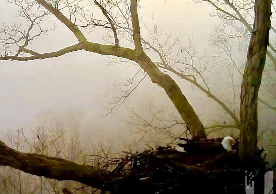 PIP watch – time is near for Eaglets to appear!! Foggy morning: Dale Hollow Eagl…