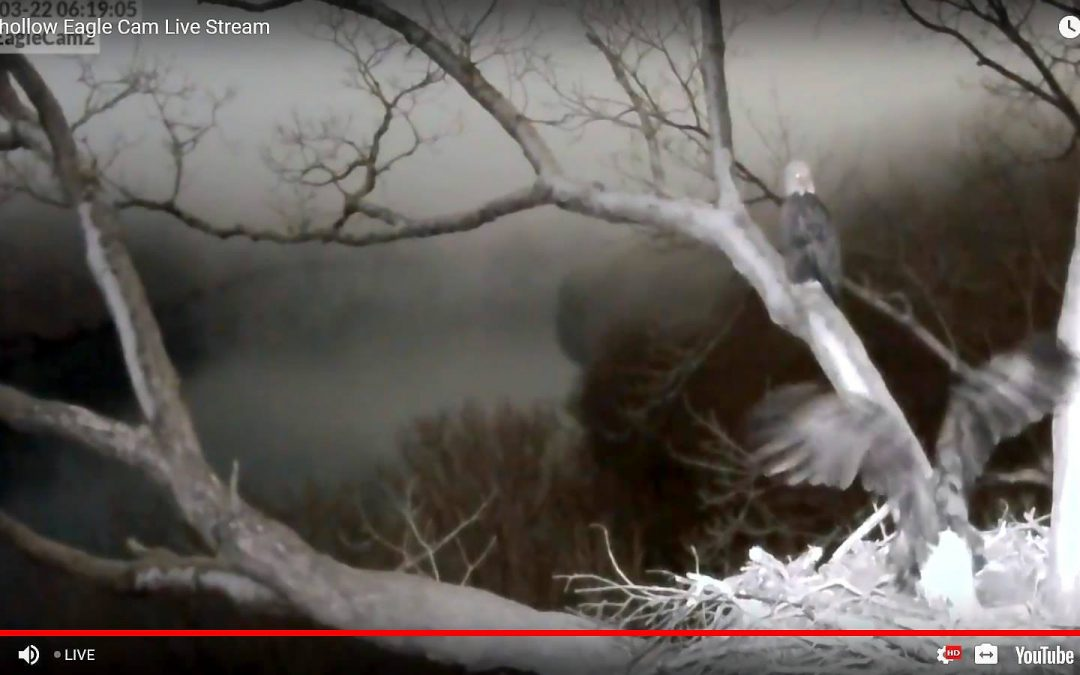 Both Eagles are spending time on the nest – Dad is just not being as active as l…