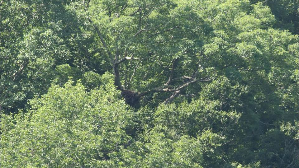 Photo taken today, (James Purkey), of the nest which is 300 feet above the lake….
