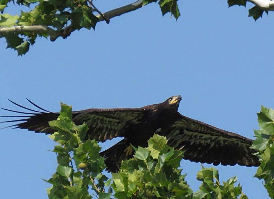 Beautiful Juvenile Eagle hatched this year in the Greenfield Nest. One more from…