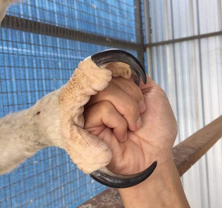 The talons of an Eagle, with over 3,500 pounds of compression strength, help the…