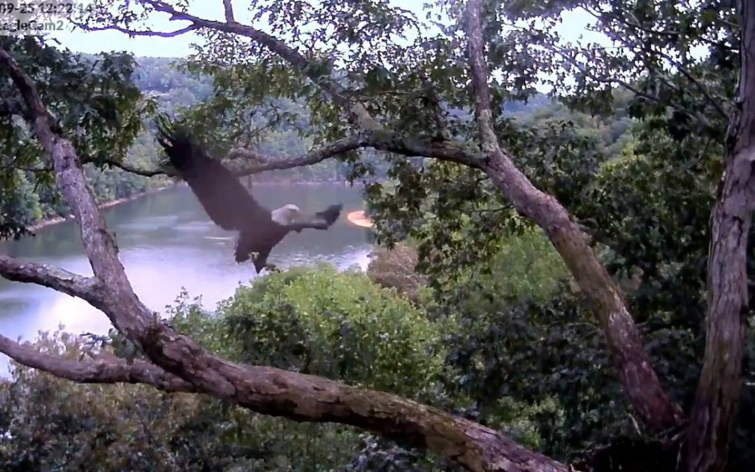 A lot of activity at the nest this morning. Bringing in lots of sticks. Wonderfu…