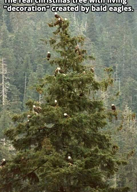 Merry CHRISTmas – Eagle Style !! Thought I would share this Eagle Christmas Tree…