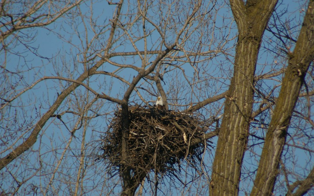 Eagle Nesting & Young