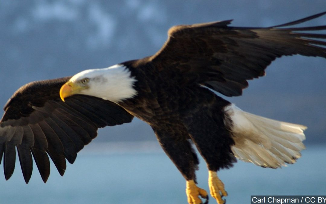 Record year for number of bald eagle nests in Kentucky