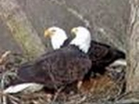 Dale hollow Eagle Came Live Stream DHEC