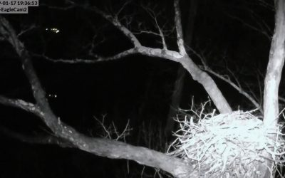 Dale Hollow Eagle Cam Live Stream Cam 1